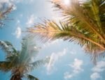 Worm's eye view of palm trees on a sunny day.